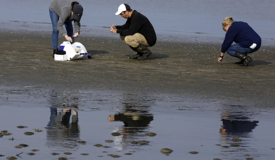 In this May 22, 2018, photo, left to right, Karlie Woodard, Patrick Seiler, and Pamela McKenzie, of St. Jude Children's Research Hospital collect bird droppings near horseshoe crabs at Kimbles Beach, Middle Township NJ. (AP Photo/Jacqueline Larma)