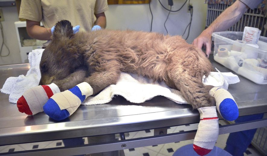 In this photo provided by Colorado Parks and Wildlife, a female bear cub lies on a table with bandages on her burned paws in Del Norte, Colo., June 27, 2018. The cub was rescued on June 22, 2018, from a wildfire north of Durango, Colo., is being treated at a Colorado Parks and Wildlife facility in Del Norte, is expected to recover and to be returned to the wild. (Joe Lewandowski/ Colorado Parks and Wildlife via AP)