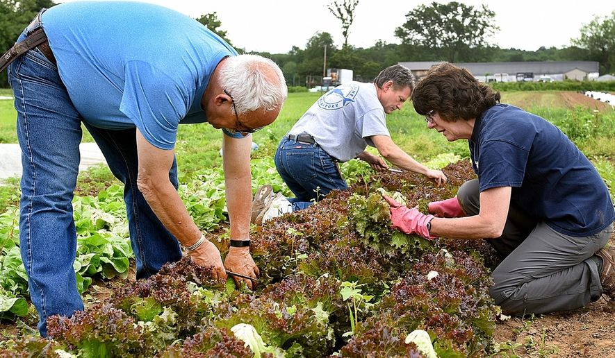 Rolling Harvest volunteers Joseph Baumhauer, Alex Cannon and Kathy Kindness pick lettuce at the Tinicum CSA at the Schneiderwind Farm in Upper Black Eddy, Pa., on June 7, 2018.   Using a network of devoted volunteers and generous farmers, Rolling Harvest Food Rescue brings fresh fruits and vegetables to food pantries, senior and community centers and mobile farmer's markets across the region.   (Art Gentile /Bucks County Courier Times via AP)