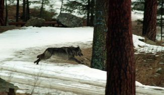 FILE--In this Jan. 14, 1995, file photo, a wolf leaps across a road into the wilds of Central Idaho north of Salom, Idaho.  The U.S. Department of Agriculture's Wildlife Services on Wednesday, July 18, 2018,  said it killed the wolves earlier this month near Stanley at the request of the Idaho Department of Fish and Game after confirming wolves killed six sheep. (AP Photo/Douglas Pizac, file)