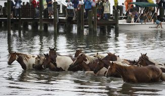 """Ponies arrive on shore during the annual Pony Swim in Chincoteague, Va., on Wednesday, July 25, 2018. The ponies traveled from Assateague Island to Chincoteague Island during """"slack tide"""" when there is little current. (Alex Driehaus/The Virginian-Pilot via AP) ** FILE **"""