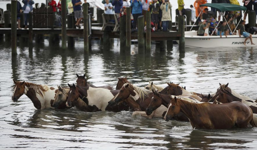 "Ponies arrive on shore during the annual Pony Swim in Chincoteague, Va., on Wednesday, July 25, 2018. The ponies traveled from Assateague Island to Chincoteague Island during ""slack tide"" when there is little current. (Alex Driehaus/The Virginian-Pilot via AP) ** FILE **"