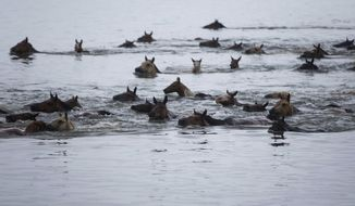 "Ponies swim across the Assateague Channel during the annual Pony Swim in Chincoteague, Va., on Wednesday, July 25, 2018. Every year, the first foal to come ashore is named King or Queen Neptune. The ponies traveled from Assateague Island to Chincoteague Island during ""slack tide"" when there is little current. (Alex Driehaus/The Virginian-Pilot via AP)"