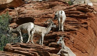 FILE-In this April 21, 2014, file photo, a group of desert bighorn sheep climb near the Checkerboard Mesa in Zion National Park in Utah. Zion National Park visitors are being asked to alert wildlife biologists if they encounter bighorn sheep coughing a lot. Excessive coughing is a symptom of pneumonia and park officials and the state Division of Wildlife Resources said Tuesday, July 31, 2018, that a bacterium commonly associated with pneumonia was found July 20 in a bighorn sheep ewe. (Francisco Kjolseth/The Salt Lake Tribune via AP, File)