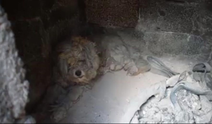 In this image from video made available Thursday Aug. 2, 2018, shows a dog that survived last week's devastating wildfire in Greece, sheltering in an outside brick oven structure where it found refuge July 25, in the coastal Mati district near Athens.  Volunteers are seen coaxing the frightened and battered-looking animal out of the brick structure, which stood outside a house, ravaged by the July 23 wildfire in the coastal Mati district near Athens that killed around 90 people. (Artemis Kyriakopoulou via AP) MANDATORY CREDIT