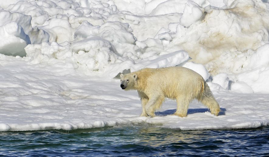 FILE - In this June 15, 2014 file photo released by the U.S. Geological Survey, a polar bear dries off after taking a swim in the Chukchi Sea in Alaska. The commission that manages the polar bear population shared by the United States and Russia has increased the quota of bears that can be harvested by subsistence hunters. (Brian Battaile/U.S. Geological Survey via AP, File)