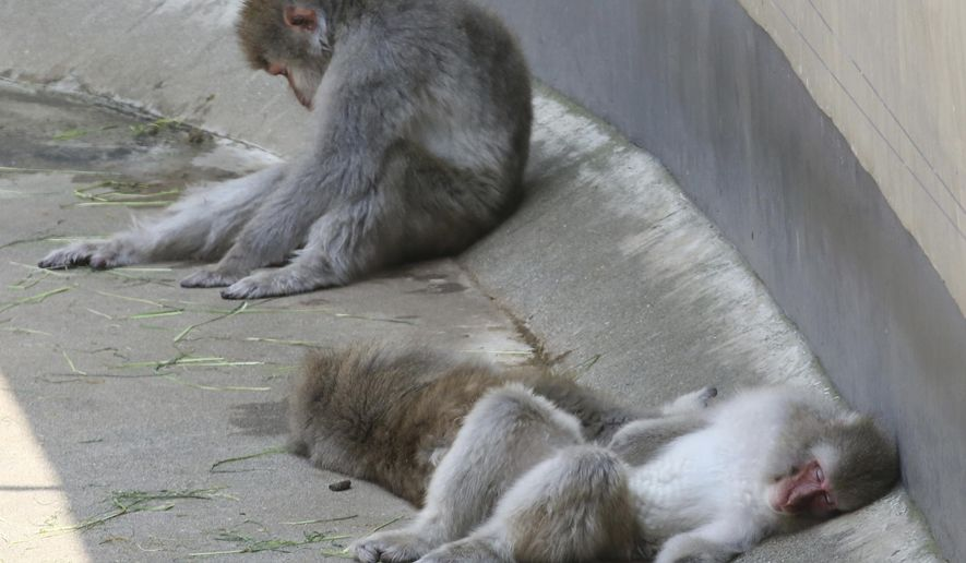 In this Wednesday, Aug. 1, 2018, file photo, Japanese macaques take a nap in the shade to avoid sunshine at Ueno Zoo in Tokyo. (AP Photo/Koji Sasahara, File)