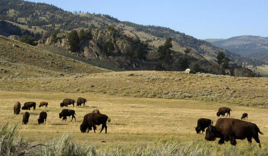 In this Aug. 3, 2016, photo, a herd of bison grazes in the Lamar Valley of Yellowstone National Park. An Oregon man who was caught on video harassing a bison in Yellowstone National Park has been arrested in Glacier National Park. The National Park Service says 55-year-old Raymond Reinke caused a disturbance Thursday, Aug. 2, 2018, in Many Glacier Hotel. Yellowstone rangers cited him later over the bison incident. Reinke had been cited for drunken and disorderly conduct in a third national park, Grand Teton, last Saturday and released on bond. (AP Photo/Matthew Brown, File)