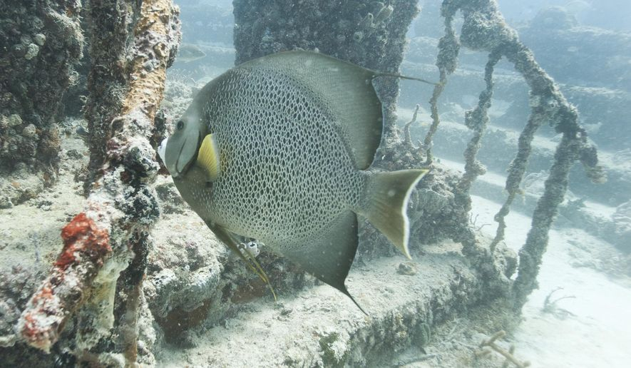 In this July 19, 2018 photo, a large gray angelfish swims near a stairway at the Neptune Memorial Reef near Miami Beach, Fla. It took nearly four years for multiple government agencies to sign off on this underwater mausoleum, which is designed to encourage a healthy ecosystem. AP Photo/Wilfredo Lee)