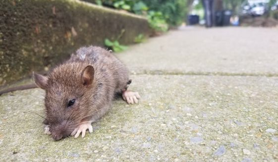 A large brown Norway rat, one of many in the District, pauses on the streets as its hind leg bleeds from a trapping injury. Experts say it's going to take a cocktail of drugs, tech, and money to really reduce their population. (Photo by Julia Airey/The Washington Times)