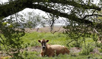 In this May 8, 2018, photo, a Jersey cow feeds in a field on the Francis Thicke organic dairy farm in Fairfield, Iowa. Small family operated organic dairy farms with cows freely grazing on verdant pastures are going out of business while large confined animal operations with thousands of animals lined up in assembly-line fashion are expanding. Many traditional small-scale organic farmers are fighting to stay in business by appealing to consumers to look closely at the organic milk they buy to make sure it comes from a farm that meets the idyllic expectations portrayed on the cartons. (AP Photo/Charlie Neibergall)
