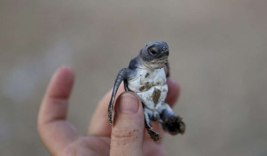 PHOTO GALLERY - In this photo taken on Thursday, Aug. 9, 2018, a conservationist holds up a tiny sea turtle that just hatched from its nest on Cyprus' protected Lara beach. Cyprus' Green and Loggerhead turtles have made a strong comeback thanks to pioneering conservation efforts stretching back decades, with the increase in numbers all the more remarkable as the Green turtle given that it only lays eggs in Cyprus and Turkey. (AP Photo/Petros Karadjias)