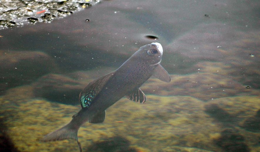 FILE - In this June 27, 2005, file photo, an Arctic grayling is shown in Emerald Lake in Bozeman, Mont. A federal appeals court says U.S. wildlife officials did not consider all environmental factors when it decided against designating a Montana fish as a threatened or endangered species. A three-judge panel of the 9th U.S. Circuit Court of Appeals on Friday, Aug. 17, 2018, sent a lawsuit seeking federal protections for the Arctic grayling back to a lower court for further consideration. (Ben Pierce/Bozeman Daily Chronicle via AP, File)
