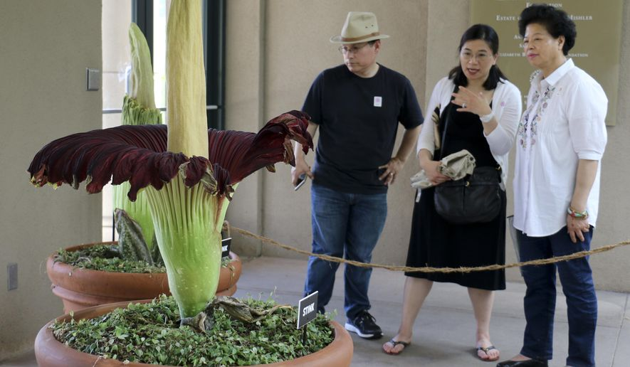 """Visitors look at the so-called corpse flower, known for the rotten stench it releases when it blooms, at the Huntington Library Friday, Aug. 17, 2018, in San Marino, Calif. The flower, nicknamed """"Stink,"""" began blooming unexpectedly on Thursday night, Huntington spokeswoman Lisa Blackburn said. (AP Photo/Ariel Tu)"""