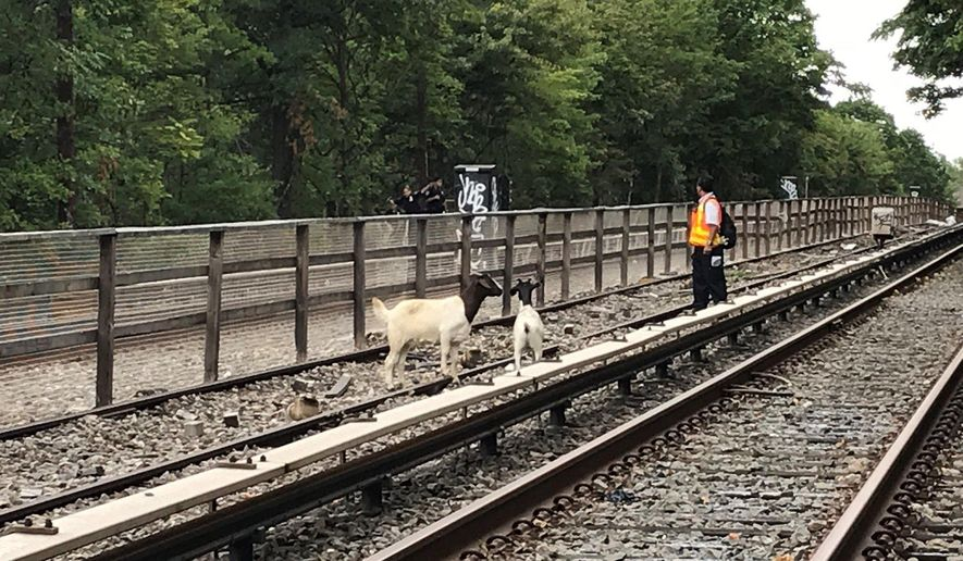 In this Monday, Aug. 20, 2018 photo provided by the New York City Transit, goats stand on the subway tracks in the Brooklyn borough of New York. Jon Stewart has made a home for the two goats found roaming along the tracks. The comedian and his wife own Farm Sanctuary, a shelter in Watkins Glen, N.Y. (New York City Transit via AP)