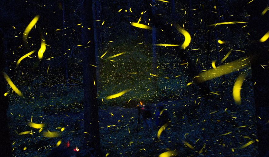 FILE - In this July 21, 2016 file photo, fireflies light up in synchronized bursts as photographers take long-exposure pictures, inside Piedra Canteada, a tourist camp cooperatively owned by 42 local families, inside an old-growth forest near the town of Nanacamilpa, Tlaxcala state, Mexico. A study released on Wednesday, Aug. 22, 2018 in the journal Science Advances, says that fireflies seem to use their lights to tell bats they taste bad. (AP Photo/Rebecca Blackwell)