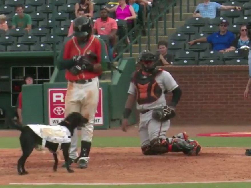 Greensboro Grasshoppers bat dog Miss Lou Lou Gehrig interrupts a ballgame. (Video screenshot courtesy of Instagram / @milb)