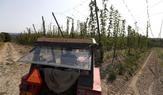 In this picture taken Wednesday, Aug. 29, 2018, a worker drives a tractor during a harvest of hops at a hopfield near the village of Rocov, Czech Republic. The production of hops, which is used to make Czech Republic's famous beers, is down 30 percent or more due to a drought in the country. (AP Photo/Petr David Josek)