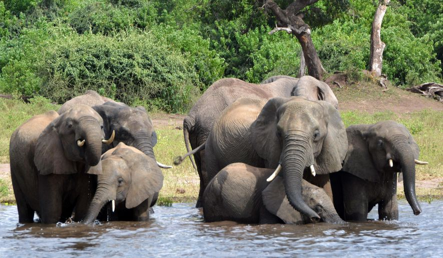 In this March 3, 2013, file photo elephants drink water in the Chobe National Park in Botswana. A conservation group says elephant poaching has increased in Botswana, which has long been viewed as a rare refuge for elephants in Africa. (AP Photo/Charmaine Noronha, File)