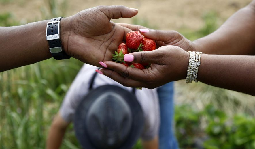In this June 18, 2018 photo, James Chase, left, hands fresh strawberries to his wife Shawnta while visiting an Old Order Mennonite family's farm in New Holland, Pa. It's an obscure cross-cultural bond: a tight community of African-American horsemen in disenfranchised West Baltimore and Pennsylvania Mennonites who live by candlelight and scripture. (AP Photo/Patrick Semansky)
