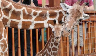 In this undated photo provided by Animal Adventure Park, April the giraffe and her offspring Tajiri are shown in their enclosure in Harpursville, N.Y. Tajiri will be moved in late October to the Carolina Wildlife Conservation Park, outside of Raleigh, North Carolina. April's pregnancy drew more than 232 million YouTube live views during a seven-week period. She gave birth to Tajiri in April 2017. (Animal Adventure Park via AP)
