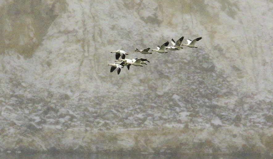 FILE - In this Nov. 30, 2016, file photo, snow geese fly along the bank of the Berkeley Pit's toxic waters in Butte, Mont. U.S. Environmental Protection Agency Acting Administrator David Wheeler planned to visit Butte, Friday, Sept. 7, 2018, after an estimated 3,000 snow geese died when they landed in the pit in 2016. (Walter Hinick/The Montana Standard via AP, File)
