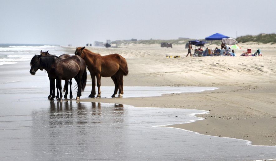 FILE - In this July 25, 2011, file photo, a group of wild horses cools off in the ocean breeze on the beach in Corolla, N.C. As North Carolina braces for Hurricane Florence, some tourists and residents are worried about the famous wild horses that roam the Outer Banks. But Sue Stuska, a wildlife biologist based at Cape Lookout National Seashore, said the horses instinctively know what to do in a storm. (AP Photo/Virginian-Pilot, Steve Earley, File)