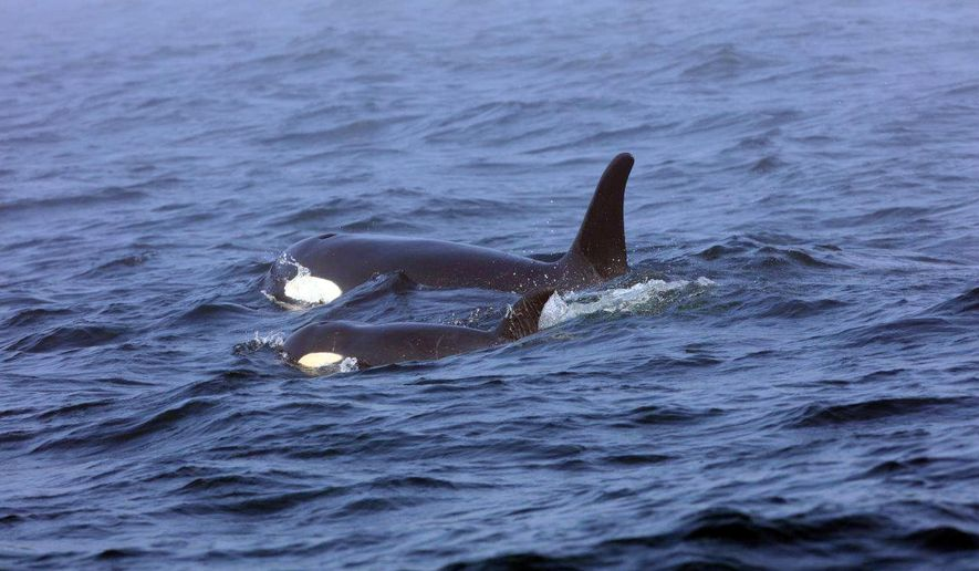 FILE - In this Aug. 7, 2018, file photo, Southern Resident killer whale J50 and her mother, J16, swim off the west coast of Vancouver Island near Port Renfrew, B.C. Nearly two months after an international team of experts began taking extraordinary measures to save the young sick orca, the critically endangered whale is skinnier than ever. Now NOAA Fisheries and its partners are weighing whether to intervene further to help the orca known as J50. (Brian Gisborne/Fisheries and Oceans Canada via AP, file)