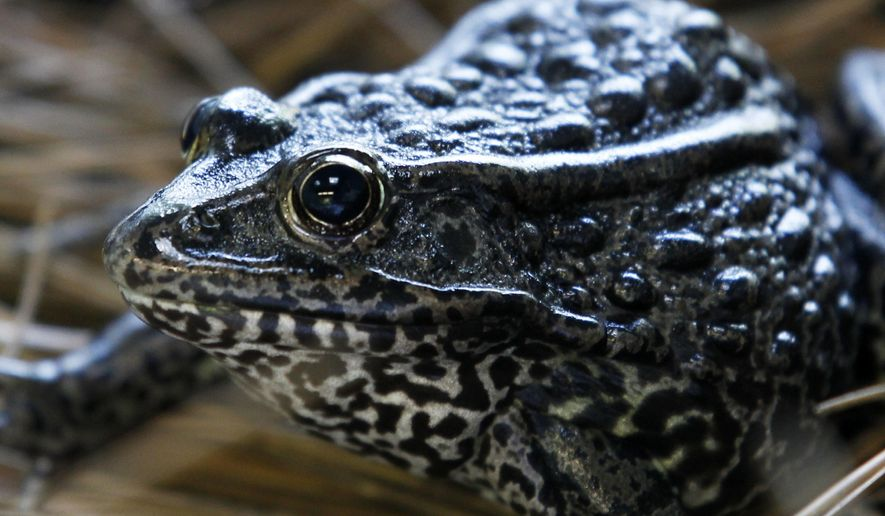 In this Sept. 27, 2011, photo, a gopher frog is seen at the Audubon Zoo in New Orleans. A Louisiana landowner says his plans for a residential development are imperiled by federal designation of 1,500 acres (600 hectares) of his land as critical habitat for the frog currently found only in Mississippi.   The U.S. Supreme Court's opening case Oct. 1, 2018,  will be Edward Poitevent's challenge to that designation of critical habitat for the dusky gopher frog, a dark, warty animal that puts its forefeet over its eyes when picked up. (AP Photo/Gerald Herbert) **FILE**