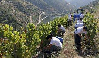 In this photo taken Sept. 12, 2018, workers pick grapes on the slopes above the Tavora river, in the background, where it meets the Douro river near Tabuaco, northern Portugal. The scorching late summer sun of northern Portugal is ripening the black, super-sweet grapes that will go to make what European Union rules say is the only wine in the world that can be called port. But port wine's second-largest export market is the United Kingdom, and the impending British exit from the EU is throwing port's almost 50 million euros' ($58 million) worth of annual business there into doubt.  (AP Photo/Armando Franca)