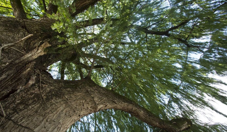 This photo, provided by the University of Louisiana at Lafayette, shows a Montezuma cypress tree on the campus on Sept. 21, 2018.  No one knows for sure who planted the tree, which is believed to be the largest in the state of Louisiana. (Doug Dugas/University of Louisiana at Lafayette via AP)