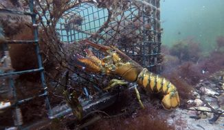 In this Saturday, Sept. 8, 2018, file photo, a lobster walks into a lobster trap on the floor of the Atlantic Ocean off Biddeford, Maine. The American lobster industry is starting to feel the effects of China's tariff on U.S. seafood as exporters and dealers report sagging prices and financial pressure. (AP Photo/Robert F. Bukaty)