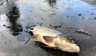 Dead fish litter the streets of Aberdeen Golf Club as floodwaters recede following Hurricane Florence, in Longs, S.C. Monday, Sept. 24, 2018. (Jason Lee/The Sun News via AP)