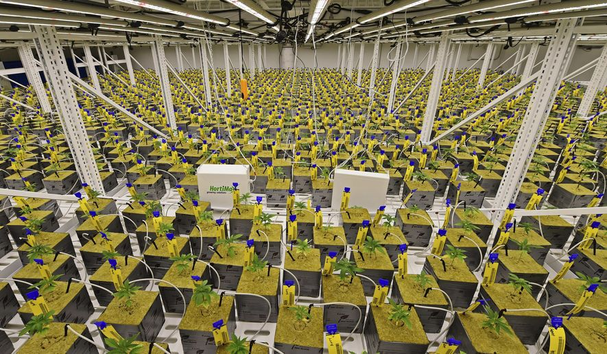 FILE - In this Sept. 20, 2018, file photo, marijuana plants sit under LED lights inside the Veg Room, in Eastlake, Ohio. Buckeye Relief LLC, one of Ohio's large-scale medical marijuana cultivators, expects to sell the state's first legal pot to licensed dispensaries sometime in December. (AP Photo/David Dermer, File)