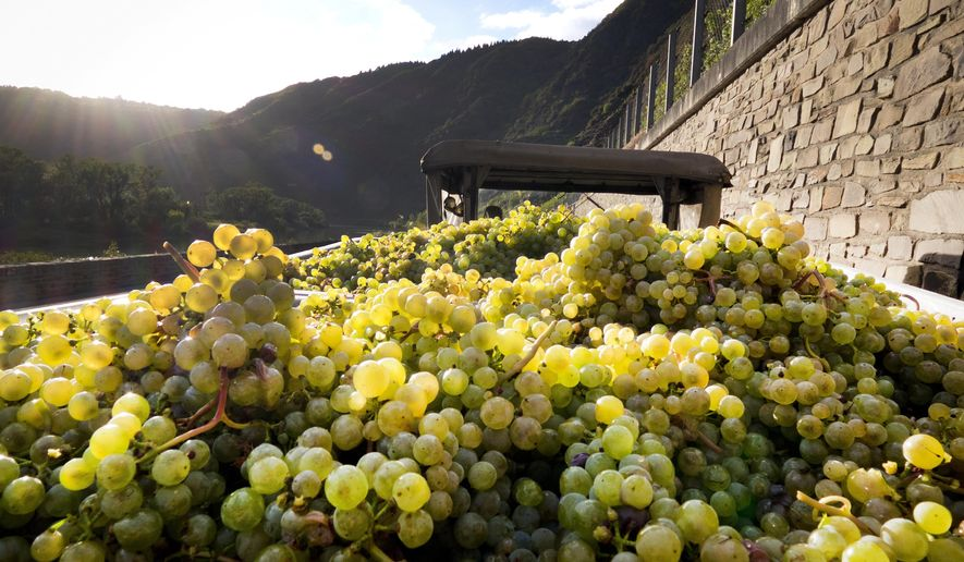 In this Oct. 1, 2018 photo grapes lie on a trailer on bottom of the Calmont vineyard near Bremm, Germany. The slope is considered to be among the steepest in Europe, with inclines of up to 70 degrees.  (AP Photo/Michael Probst)