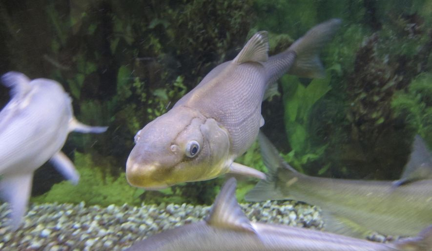 In this Tuesday, Oct. 2, 2018 photo, a Colorado River razorback sucker fish is shown swimming in a tank at the U.S. Fish and Wildlife Service office in Lakewood, Colo. Officials say that the rare Colorado River fish has been pulled back from the brink of extinction, the second comeback this year for a species unique to the Southwestern United States. (AP Photo/Dan Elliott)