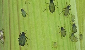This undated photo provided by the Boyce Thompson Institute shows corn leaf aphids used in a study to modify crop plants through engineered viruses. In an opinion paper published Thursday, Oct. 4, 2018, in the journal Science, the authors say the U.S. needs to provide greater justification for the peace-time purpose of its Insect Allies project to avoid being perceived as hostile to other countries. Other experts expressed ethical and security concerns with the research, which seeks to transmit protective traits to crops already growing in the field. (Meena Haribal/Boyce Thompson Institute via AP)