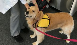 This March 2017 photo provided by Johns Hopkins University shows therapy dog Winnie at the university's hospital in Baltimore, Md. Therapy dogs who visit hospital patients can bring joy, affection, and _ superbug bacteria _  according to a new study by Johns Hopkins released Friday, Oct. 5, 2018. Casey Barton Behravesh of the Centers for Disease Control and Prevention said it adds to the growing understanding that while interactions with pets and therapy animals can be beneficial, they can also carry risk. (Meghan Davis/Johns Hopkins University via AP)