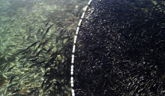 In a Sept. 13, 2018 photo, returning pink salmon swarm in a catchment area at the Kitoi Bay Hatchery on Afognak Island in Kodiak, Alaska. Kodiak's hatcheries, as well as those across the state, were originally set up to give fishermen a safety net during years in which wild stocks are low. Alaska's Private Non-Profit Hatchery Program, however, is currently at the center of a political battle that could see restrictions placed on the number of hatchery-reared fish that are released each year. (Alistair Gardiner/Kodiak Daily Mirror via AP)