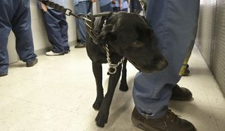 FILE -- In this May 20, 2015 file photo, Bentley, a 3-year-old Labrador retriever, checks an inmate for traces of narcotics at California State Prison, Solano, in Vacaville, Calif. The federal receiver who controls medical care in California state prisons is seeking up to a quarter-billion dollars annually to provide medication designed to stem a record increase in fatal drug overdoses among inmates. (AP Photo/Rich Pedroncelli, file)