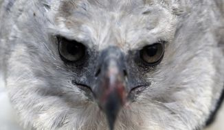 "In this Oct. 4, 2018 photo, a Harpy Eagle gives an intense look at the camera, at its enclosure at the Biopark ""La Reserva"" in Cota, Colombia. The eagle was rescue one month ago by Colombian Air Force after it was shot by hunters. It is among the largest species of eagles in the world. (AP Photo/Fernando Vergara)"