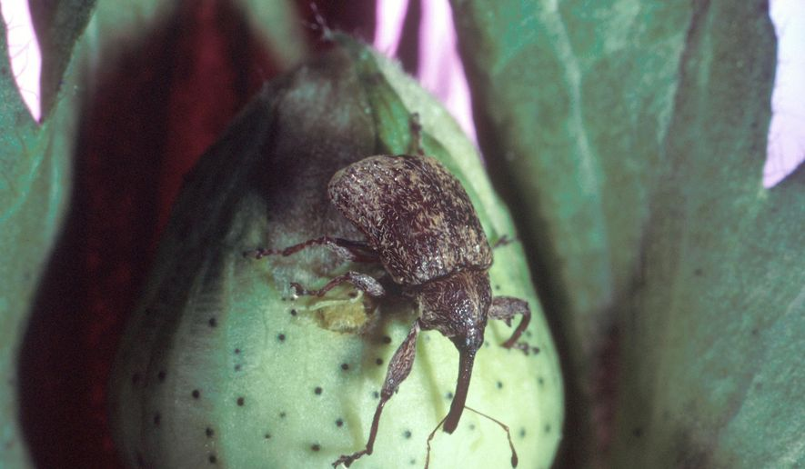 This undated photo provided by the United States Department of Agriculture shows a cotton boll weevil. Louisiana and Arkansas have stepped up boll weevil trapping because two of the destructive, long-snounted beetles were found in northern Mississippi on Sept. 29, 2018. The head of Mississippi's boll weevil eradication program says he thinks the two males probably hitched a ride on a vehicle, though nobody knows for sure how they arrived in Batesville. Boll weevils were declared eradicated in Arkansas in 2006, Mississippi in 2009 and Louisiana in 2012. (United States Department of Agriculture via AP)