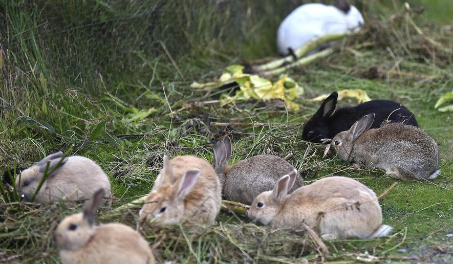 FILE - In this Sept. 12, 2018 file photo, feral rabbits gather near a resident's garden in Cannon Beach, Ore. Cannon Beach has discovered that no agency has responsibility for the booming population of feral rabbits that has overtaken the popular beach town. (Colin Murphey/Daily Astorian via AP, file)