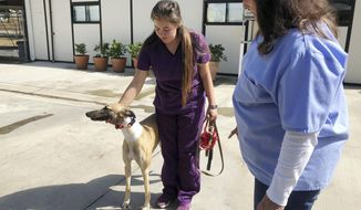 In this Wednesday, Oct. 10, 2018, photo, manager Karen Stalk watches as a worker returns a greyhound after donating blood at Hemopet canine blood bank in Garden Grove, Calif. The organization said the dogs are walked at least five times daily and given outdoor recreation time. The animal rights group People for the Ethical Treatment of Animals (PETA) has filed a complaint alleging mistreatment of dogs at Hemopet, one of the nation's largest canine blood banks, a claim the nonprofit organization that runs the Southern California facility for retired racing greyhounds adamantly rejects. Hemopet said the dogs are well-cared for and provide a vital service that saves pets' lives. (AP Photo/Amy Taxin)