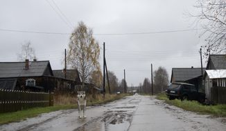 A dog walks on the street in the village of Loyga, northern Russia, Wednesday Oct. 10, 2018. The career trajectories of suspected Russian military intelligence agents suggest how important the military are for ambitious young men determined to escape the gloom and poverty of rural Russia, like Loyga where suspected GRU agent Alexander Mishkin grew up. (AP Photo/Nataliya Vasilyeva)