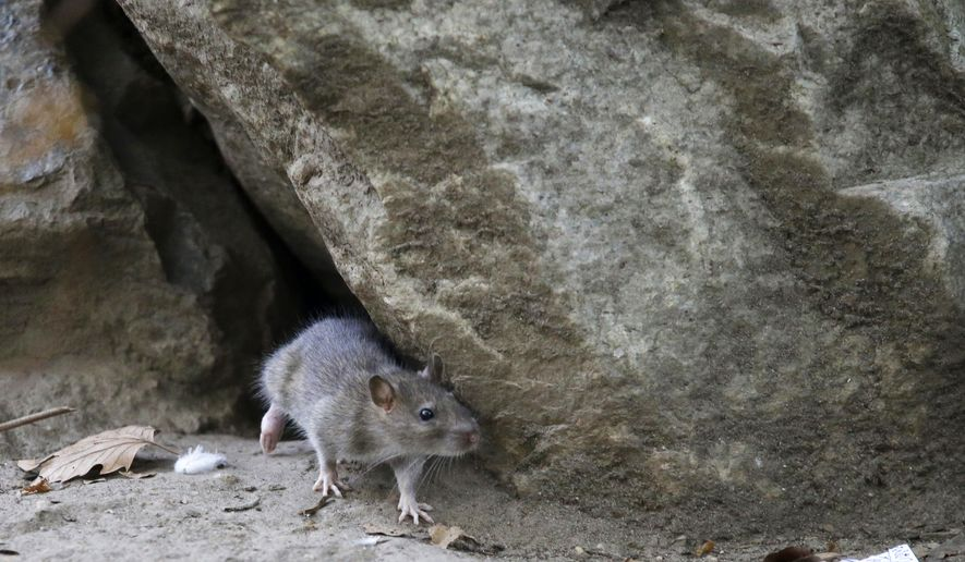 FILE - In this Sept. 17, 2015 file photo, a rat leaves its burrow at a park in New York City. Rats aren't just a nuisance in cities. Rural residents across Maine are reporting an increase in the rodents, mirroring a trend nationwide. (AP Photo/Mary Altaffer, File)