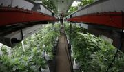 In this Wednesday, Oct. 11, 2017, photograph, a worker waters marijuana plants at the Colorado Harvest Company in Denver. A Colorado reports shows marijuana sales in the state have exceeded $1 billion as of August 2018, with tax revenue from those sales reaching $200 million. The Denver Post reports the state Department of Revenue report indicates medical and recreational marijuana sales are on track to break last year's record of more than $1.5 billion. (AP Photo/David Zalubowski, File)