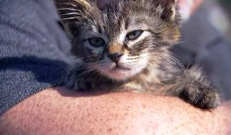 """This photo provided by Fox 12 Oregon shows a small kitten that was recently found glued to a busy road near Silverton, Ore. The kitten, who is expected to make a full recovery after a visit to the veterinarian, has found a new home with his rescuer, Chuck Hawley, whose wife named the kitten """"Sticky."""" (Fox 12 Oregon via AP)"""