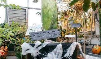 """This photo provided by Robert Gill shows Morphy, a rare """"corpse flower"""" at Dartmouth College on Oct. 23, 2018 in Hanover, New N.H.   The rare """"corpse flower"""" that gets its nickname from its putrid smell is expected to bloom next week at Dartmouth College's greenhouse.  (Robert Gill via AP)"""