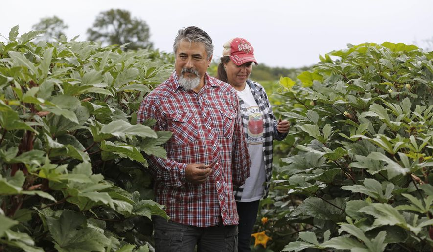 Roy and Sofia Martinez, owners of Rae Lili Farms in Cooper, Texas, are pictured Friday, October 12, 2018 among okra plants the fields, where they grow produce organically and source to top Dallas restaurants.  (Louis DeLuca/The Dallas Morning News via AP)
